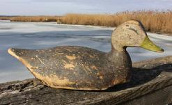 C438 Lloyd Taylor Black Duck, Carved & Painted. A large black duck decoy by Lloyd Tyler (1898 to 1971), of Crisfield, Maryland.